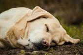 A Beautiful Sleeping Labrador On Grass Outdoor poster