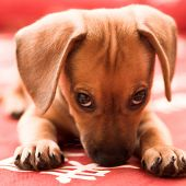 image of cute puppy  - Dachshund puppy lay on red sofa - JPG