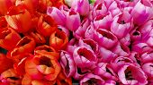 Tulip Flowers Field Outdoor. Beautiful Group Of Various Purple And Orange Colorful Tulips On Flowerb poster