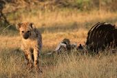 Spotted Hyena scavenges  poster
