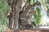 Tree of Tule (Taxodium huegelii, Montezuma cypress tree), said to be the oldest and largest tree in  poster