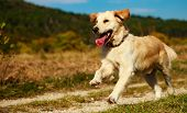 Dog, Golden Retriever Running Through Autumn Leaves In Autumnal Sunlight poster