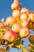 Autumn Apples Harvesting Season. Rich Harvest Concept. Apples Yellow Ripe Fruits On Branch Sky Backg poster
