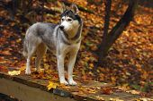 A Dog Breed Husky Stands On A Wooden Bridge In The Forest, Covered With Autumn, Fallen Leaves poster