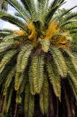Large Palm Tree Taken Close Up, Natural Texture Of Palm Leaves, Natural Background Of Palm Leaves. poster