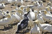 stock photo of gannet  - Colony of Northern Gannets sunbathing off Bonaventure Island Quebec, Canada. The Northern Gannet (Morus bassanus) is a seabird and is the largest member of the gannet family, Sulidae