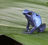 Blue poison dart frog dendrobates azureus,endangered amphibian species of tropical amazon rainforest