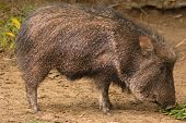 image of javelina  - American Collared Peccary or Javelina - JPG