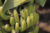Green Banana, Banane, Musa X Paradisiaca L, India poster
