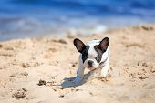 stock photo of little puppy  - French bulldog puppy running on the beach - JPG