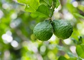 stock photo of leech  - Leech lime or Bergamot fruits hanging on its tree - JPG