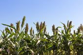 foto of sorghum  - Millet or Sorghum field with blue sky background - JPG