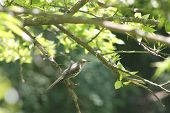 image of mockingbird  - Mockingbird sitting patiently on a small branch - JPG