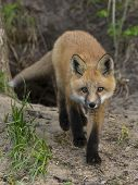 stock photo of sneak  - A young Red Fox sneaking towards you - JPG