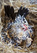 stock photo of bantams  - bantam chicken and chick in a nest - JPG