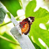 Leopard Lacewing butterfly, Cethosia cyane, pitched on a leaf. An Asian butterfly found in India, Th
