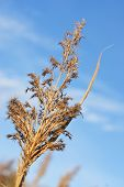 The Dry Reed  Under Blue Sky