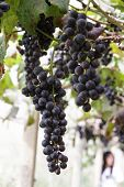 image of garden eden  - Grapes in the vineyard the garden of Eden Chiang Mai Thailand.