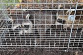 stock photo of trap  - Two small American raccoons  - JPG