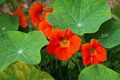 Nasturtiums orange colors, growing in pot