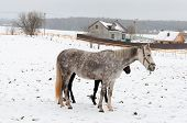 foto of dapple-grey  - two horses dapple - JPG