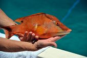 foto of wild hog  - Diver brought to the boat colorful hog fish - JPG