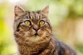 pic of yellow tabby  - Portrait of a short haired Tabby with greenish - JPG