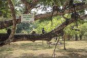 pic of hanuman  - Gray langur or Hanuman langur  - JPG