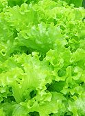 Background Of Corrugated Leaves Of Lettuce