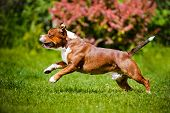 stock photo of bull  - staffordshire bull terrier dog outdoors in summer - JPG