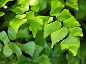 foto of fern  - Green Leaves Ginkgo Fern Ginkgo Biloba with Water Drops