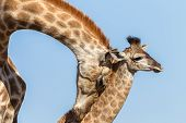 stock photo of calves  - Giraffe mother protect touch love affections to calf  - JPG