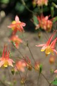 stock photo of columbine  - Pretty peach color of fragrant Columbine flowers in landscaped Summer garden of home - JPG