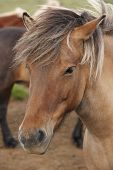 stock photo of iceland farm  - Brown icelandic horse head in the farm - JPG
