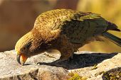stock photo of endangered species  - A Kea feeding in the mountains - JPG