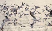 picture of flock seagulls  - A flock of gulls  - JPG