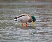 foto of male mallard  - A male Mallard duck looking down puzzled into the thin ice on a frozen pond - JPG