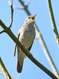 image of nightingale  - Thrush Nightingale resting and singing on a branch - JPG