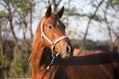 image of thoroughbred  - Thoroughbred Mare Horse Head Shot Side View Summertime - JPG