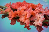 stock photo of gladiolus  - corrugated scarlet gladiolus reflected in the color mirror - JPG