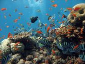 picture of coral reefs  - A Coral reef teeming with life - JPG
