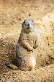 foto of groundhog  - The groundhog  - JPG