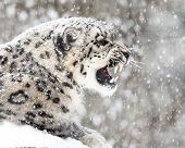 pic of snow-leopard  - Profile Portrait of Snarling Snow Leopard in Snow Storm - JPG