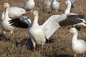 picture of snow goose  - Greater snow geese feeding in a dormant grain field in late afternoon sun during migration along the Atlantic Flyway. Eating and storing energy is essential for the long flight.