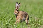 stock photo of hare  - Lepus europaeus, europoean hare in a field, France