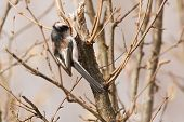stock photo of tit  - long tailed tit perched in a tree - JPG
