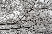 picture of accumulative  - Snow accumulates on the branches of a tree - JPG