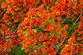 picture of royal botanic gardens  - Flamboyant or Delonix Regia in a tropical garden - JPG