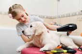 picture of grooming  - Girl owner is grooming the fur of retriever puppy after shower - JPG
