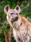 picture of hyenas  - Portrait of hyena standing in front of natural scene in the evening - JPG